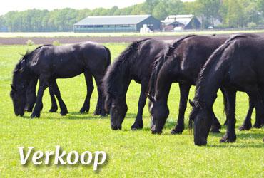 Friezenstal 39 t grupje friese en bonte paarden for Paard aan huis te koop